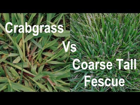 How to Identify Crabgrass In a Lawn - Crabgrass vs Coarse Tall Fescue - Problem Grasses