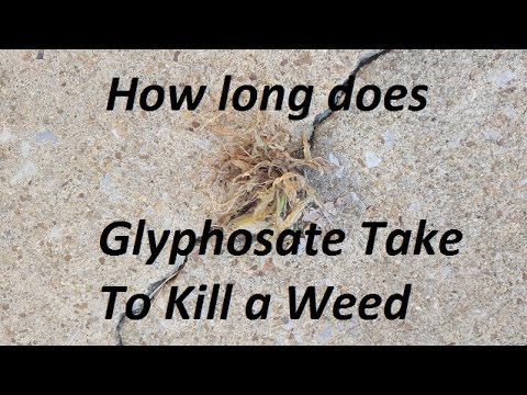 How Long does glyphosate (found in Roundup) take to kill weeds?