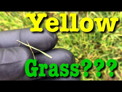 Grass Turning Yellow | What To Do?