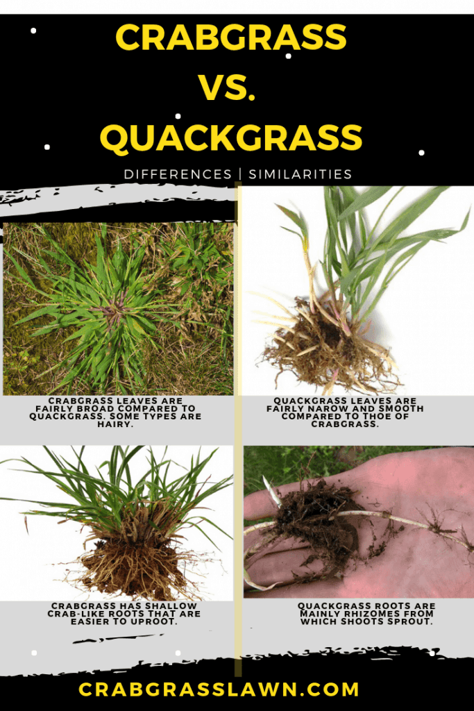 Crabgrass or quackgrass differences infographic