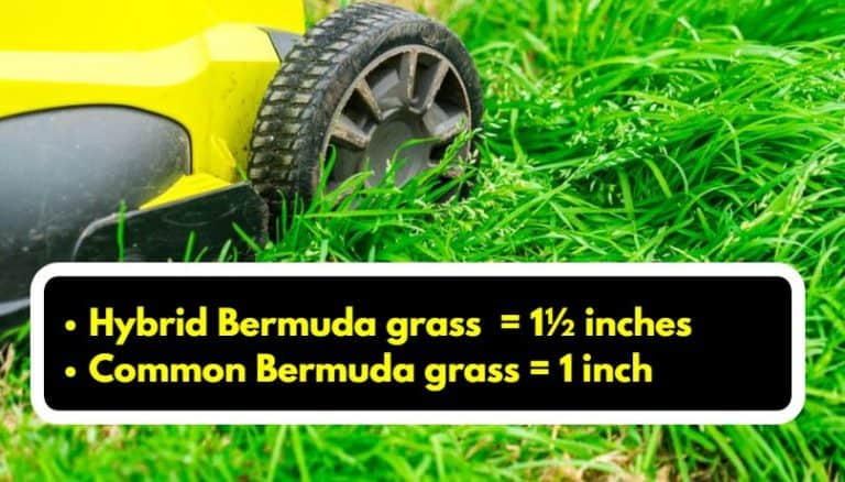 Bermuda grass mowing height