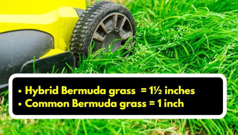Bermuda grass mowing height