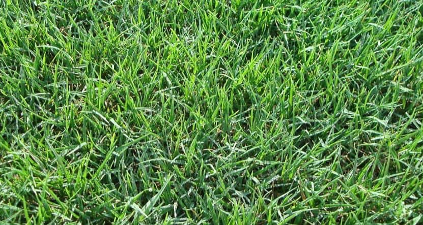 Types of Bermuda grass and varieties for different uses