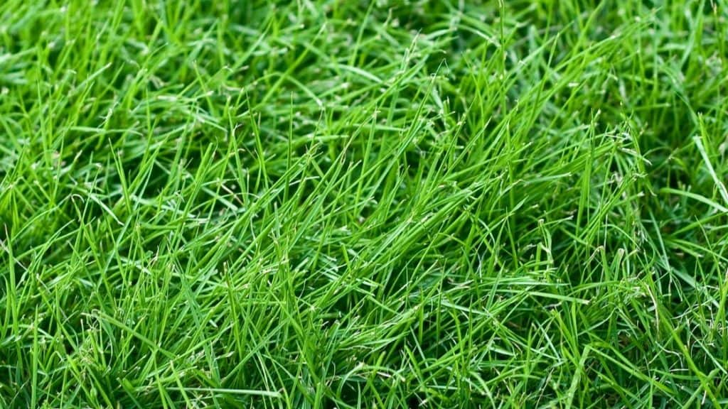fescue grass close up