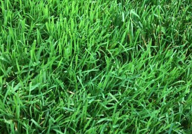 Best grass for low sunlight - Rye grass