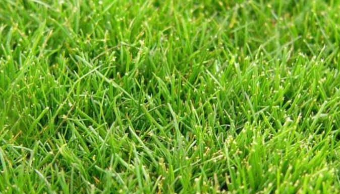 Best grass for shady areas - Rough Bluegrass