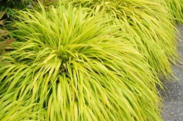 Best ornamental grass for shade - japanese forest grass