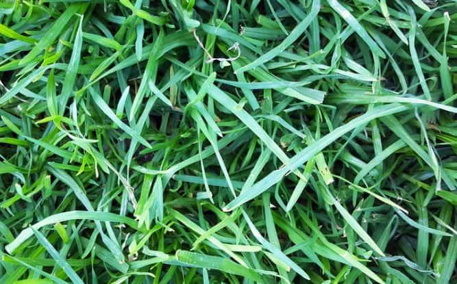 Best shade-tolerant grass - fescue
