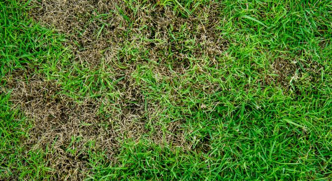 St. Augustine Grass Fungus - How to Treat and Get Rid of It