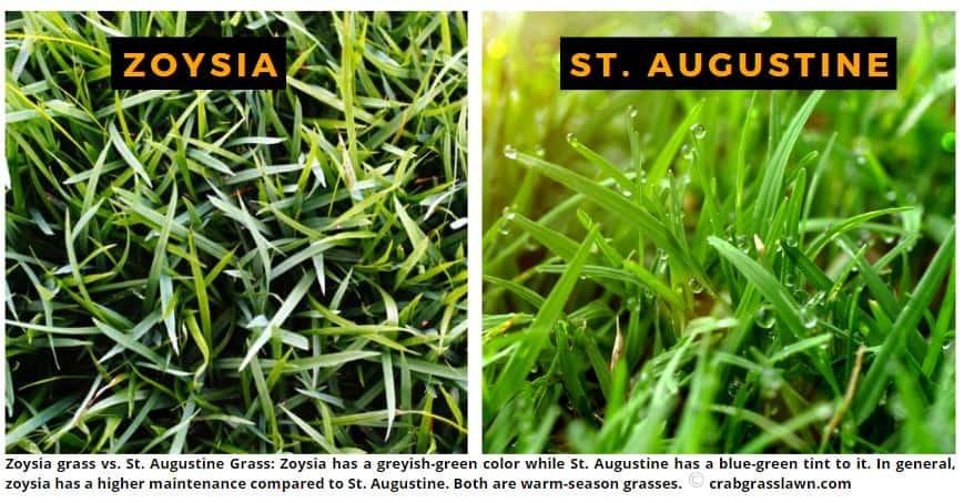 zoysia vs st augustine grass