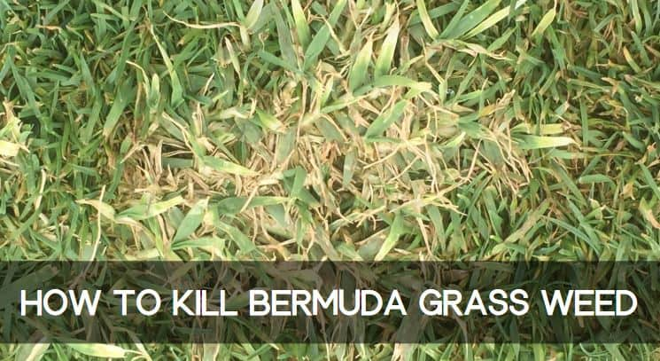 How to Kill Bermuda Grass Weed in Lawn