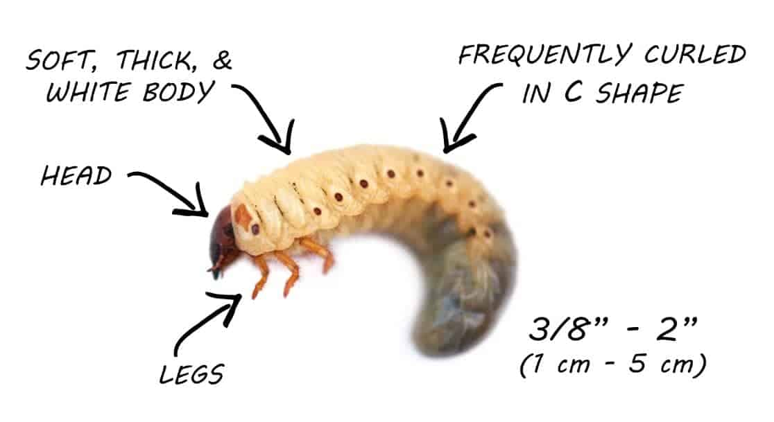 How to get rid of grubs in the lawn