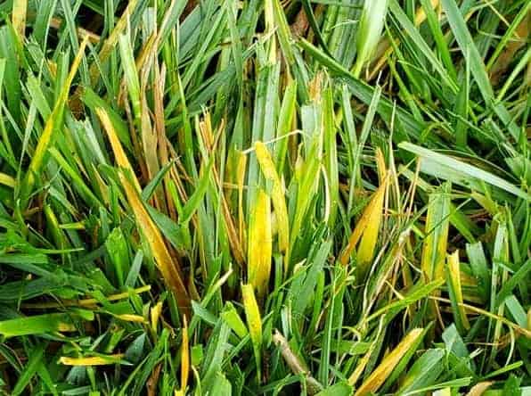 Lawn grass turning yellow and dying