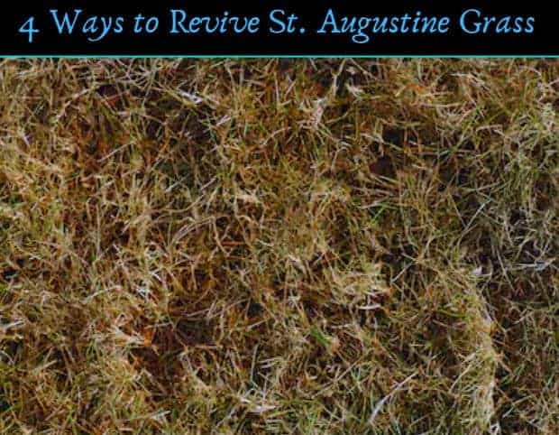 How Do You Revive St Augustine Grass 4 Ways To Bring It Back Cg Lawn