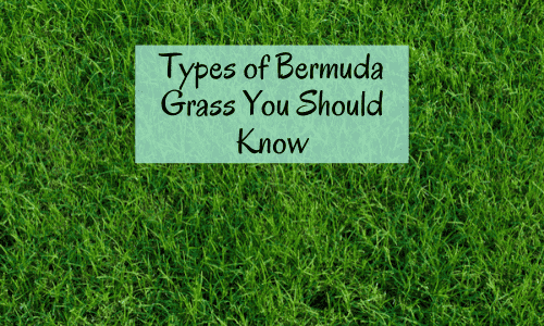 Types of bermuda grass for lawn, hay, golf courses