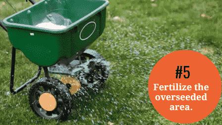 Fertilize the overseeded area with starter fertilizer