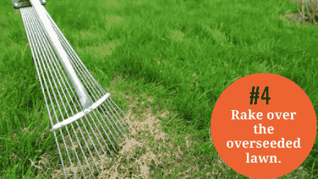 Rake lightly over the overseeded lawn