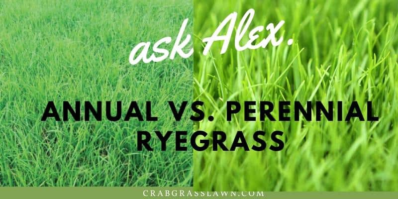 Annual vs. Perennial ryegrass