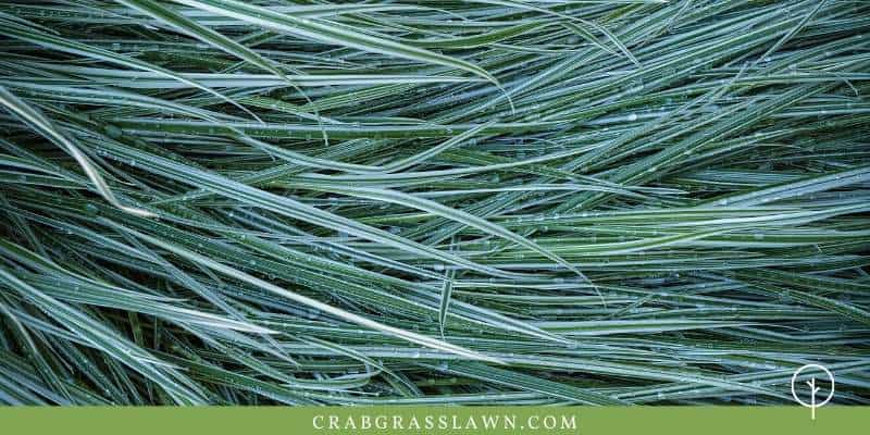 perennial ryegrass features