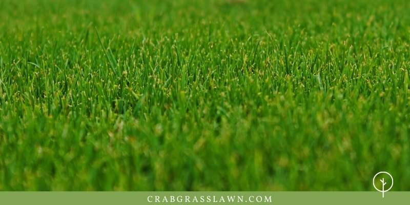 tiflawn bermuda grass