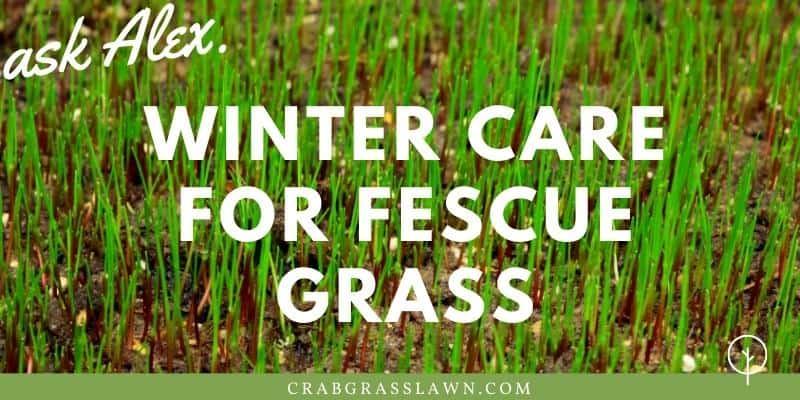 winter care for fescue grass