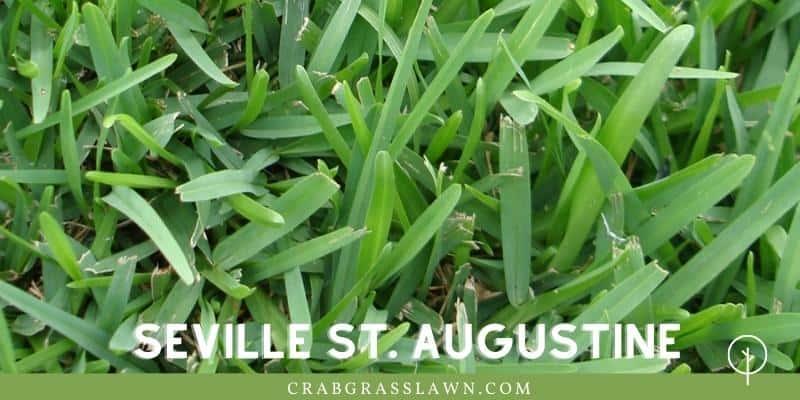 Seville St. Augustine Grass in sand