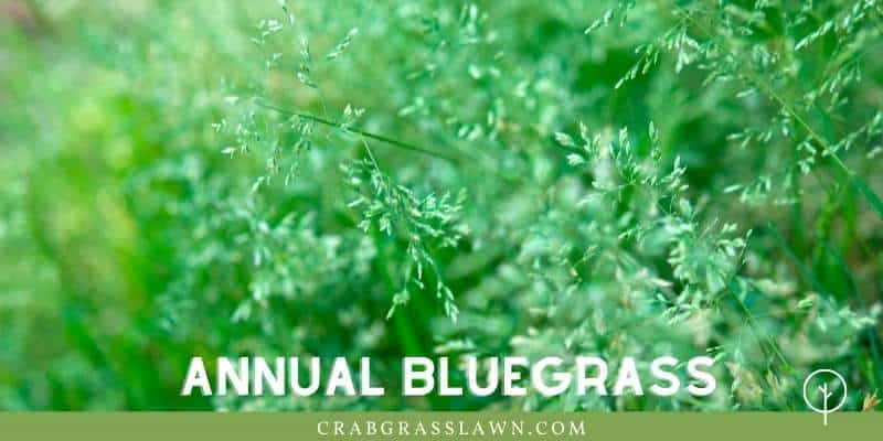 annual bluegrass weed