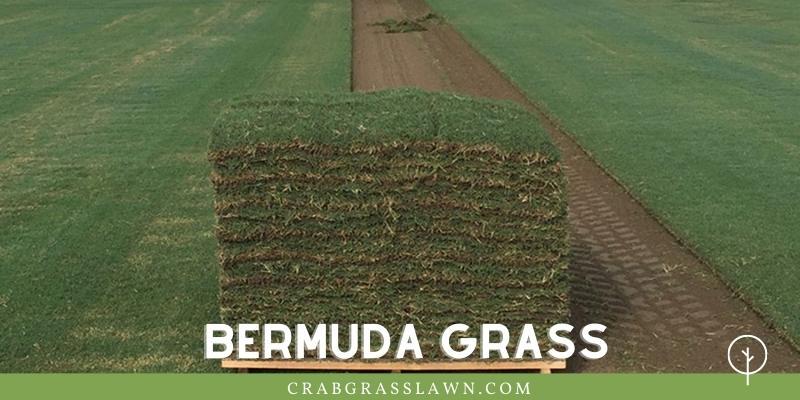 Bermuda Grass In Sand