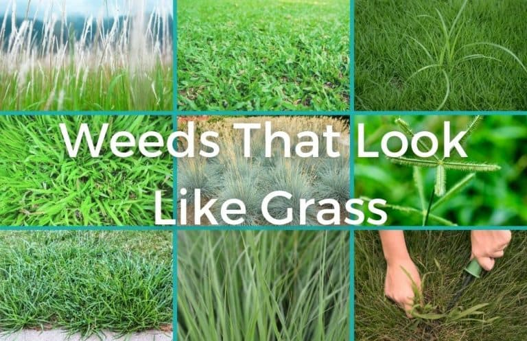 most common weeds that look like grass
